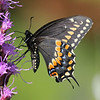 Swallowtails and Parnassians : 6 galleries with 113 photos