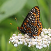 Crescents and Checkerspots : 6 galleries with 175 photos