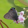 Hairstreaks : 5 galleries with 76 photos