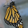Milkweed Butterflies : 2 galleries with 72 photos