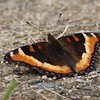Tortoiseshells : 1 gallery with 14 photos